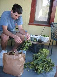 Picking fresh hops